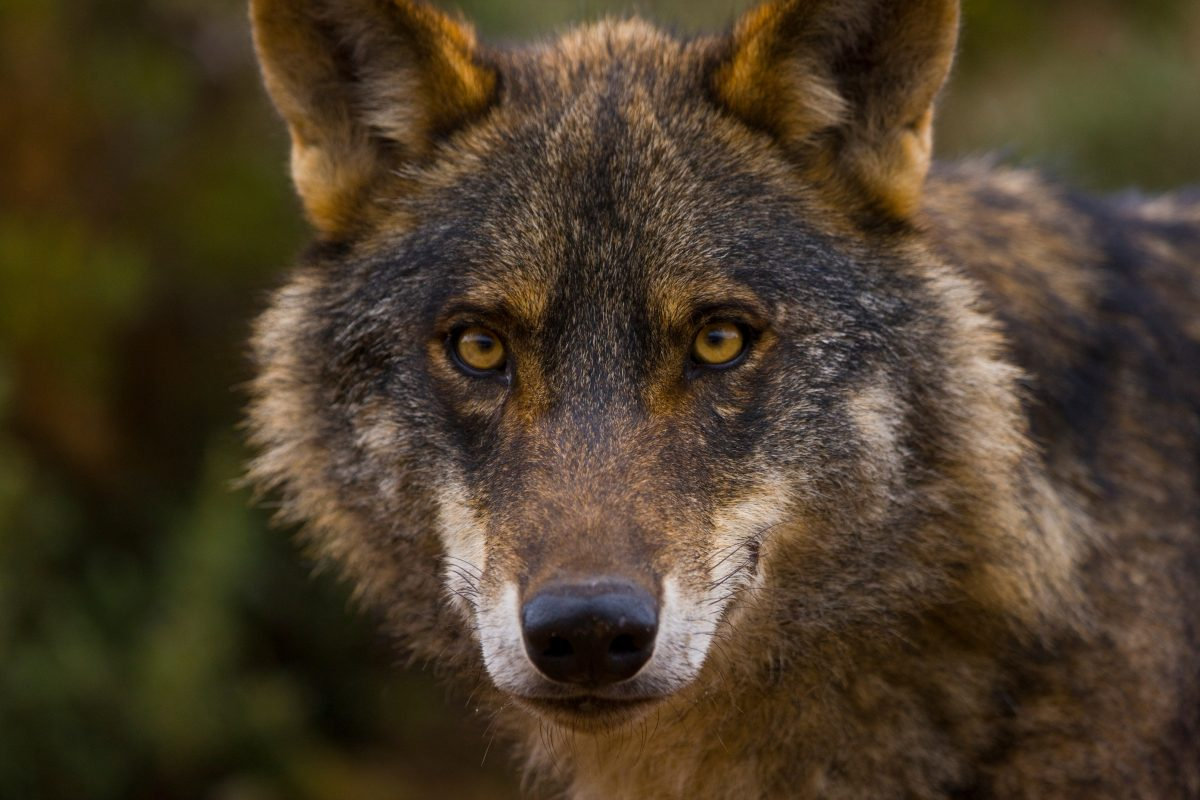 The Iberian Wolf.