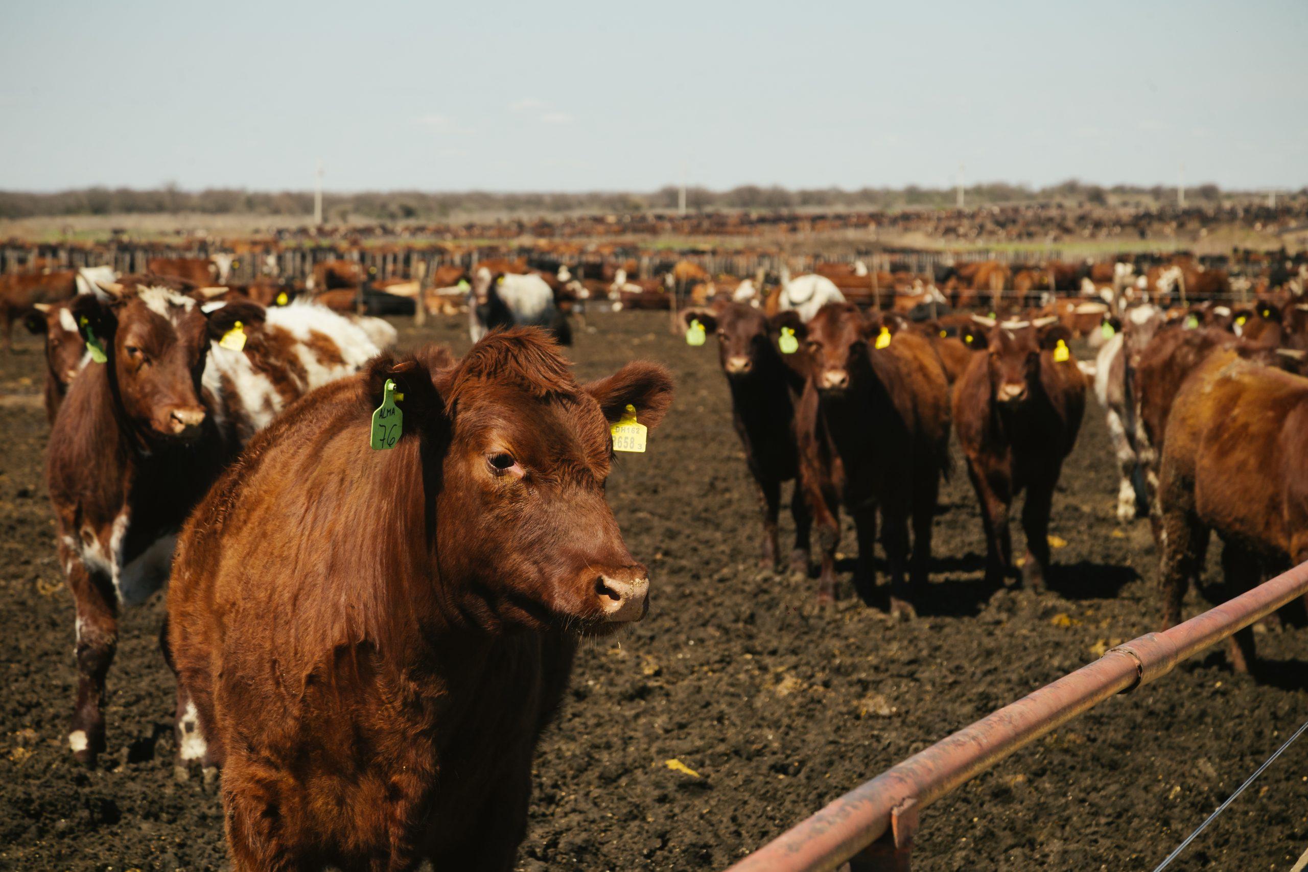 Cattle in a feedlot