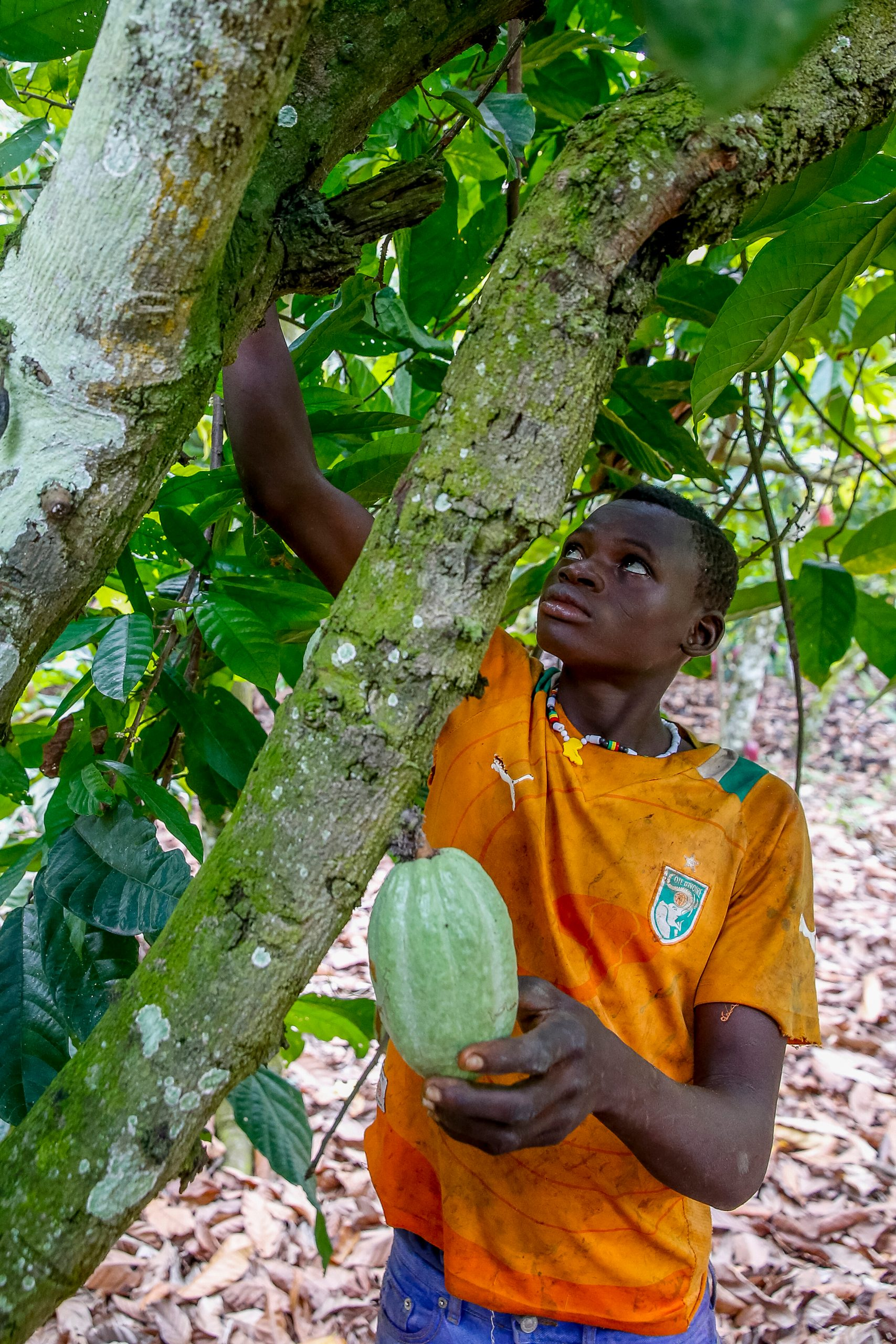 Young cocoa plantation worker in Guezon, Ivory Coast, harvesting crops.