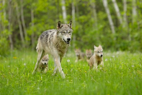 Gray wolf and pups.