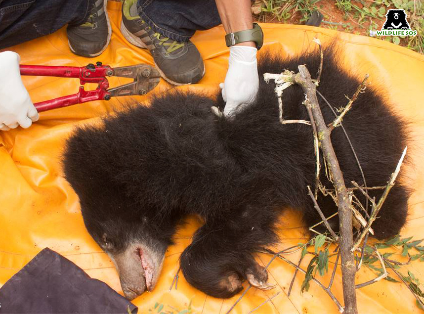 Team Wildlife SOS attempting to cut through the metal snare to free the bear cub