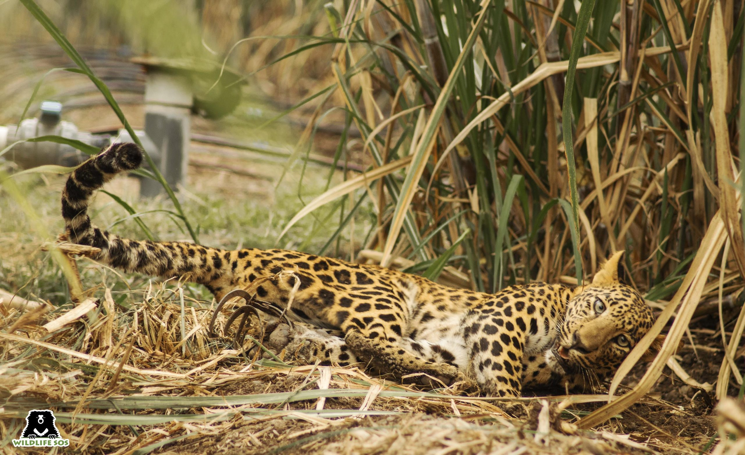 Wildlife SOS & the Forest Department rushed to the rescue of the leopard trapped in a jaw trap