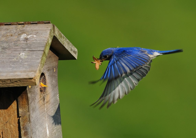 Eastern-Bluebird-Tennessee