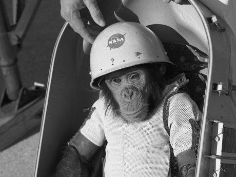 Ham the chimpanzee sitting in his space capsule
