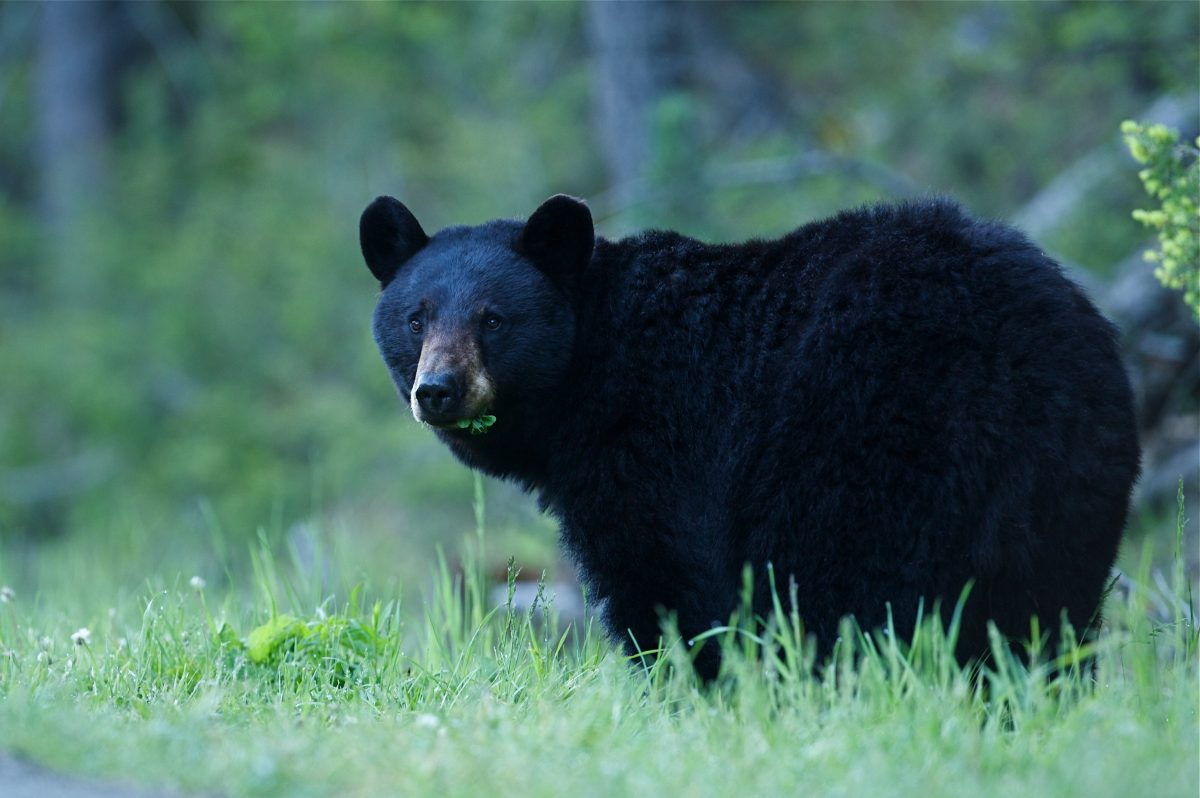 bear in nature