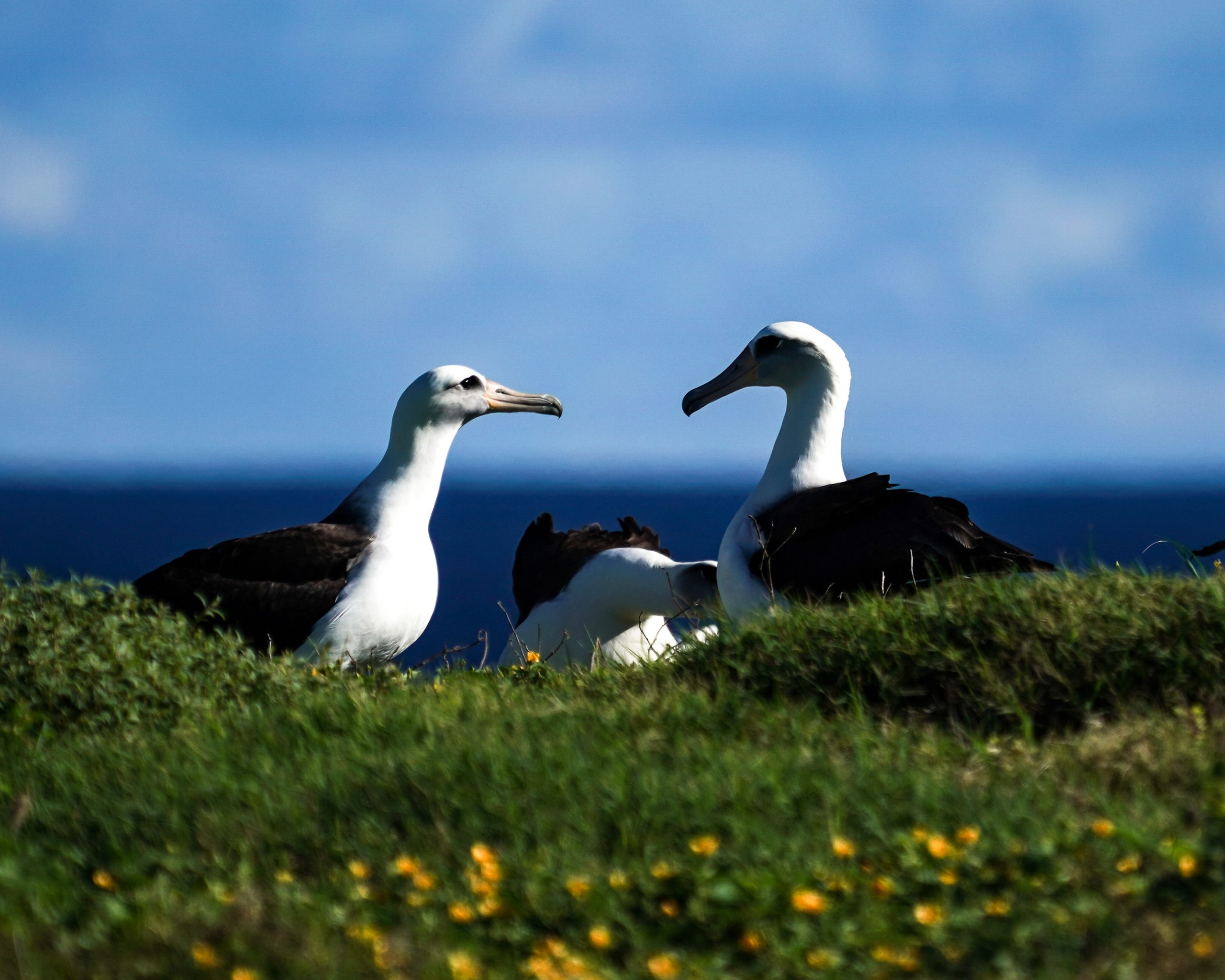 A pair of Laysan Albatross