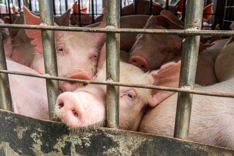 pigs on transport truck