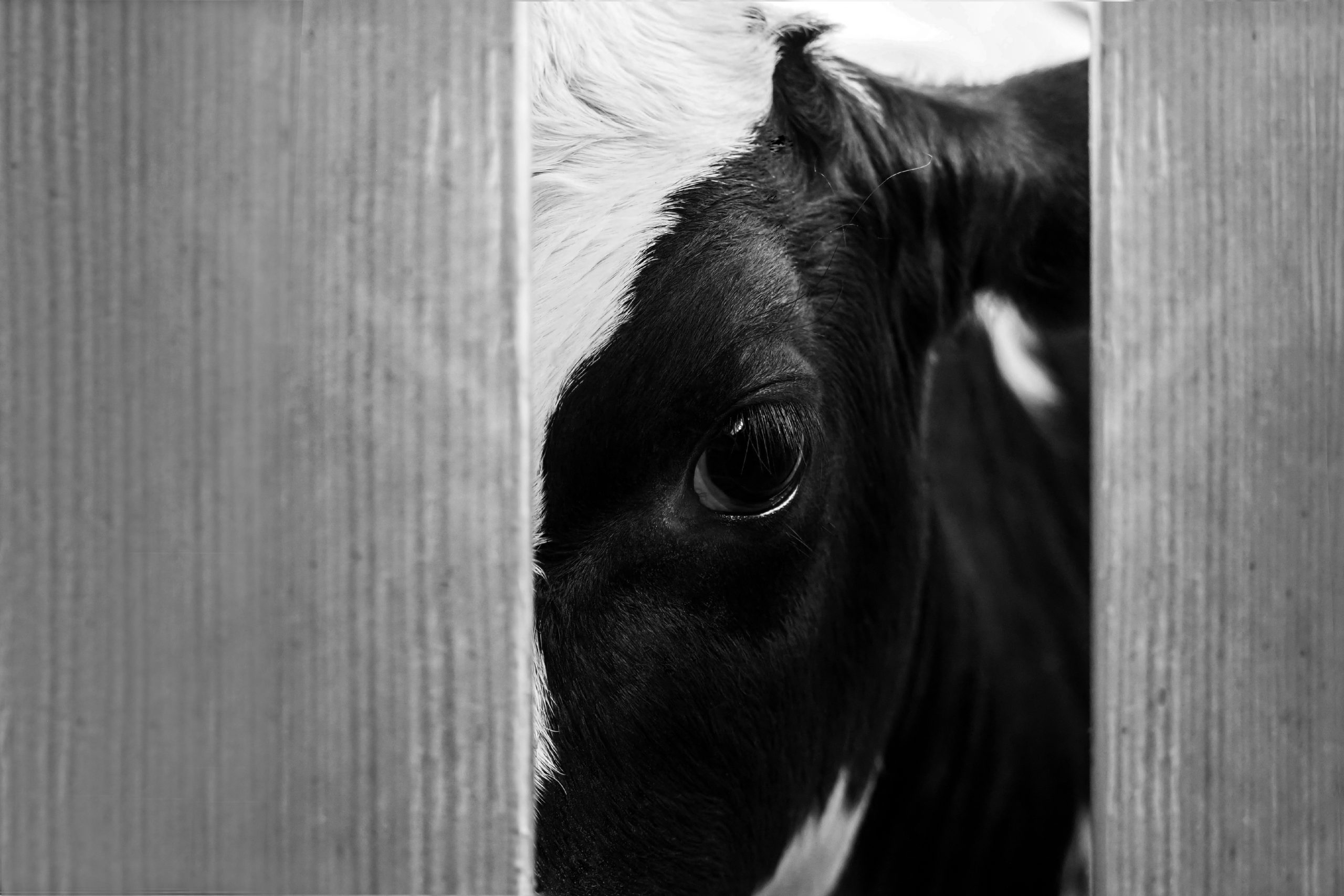 A Holstein cow gazes out from a slaughterhouse yard.