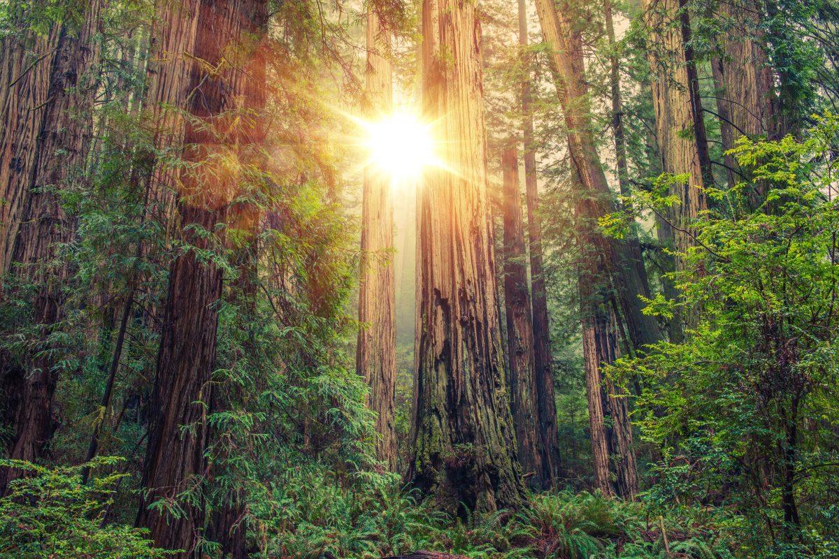 Redwood Trees