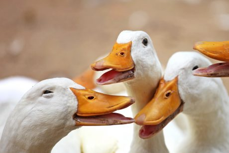 Domestic ducks.