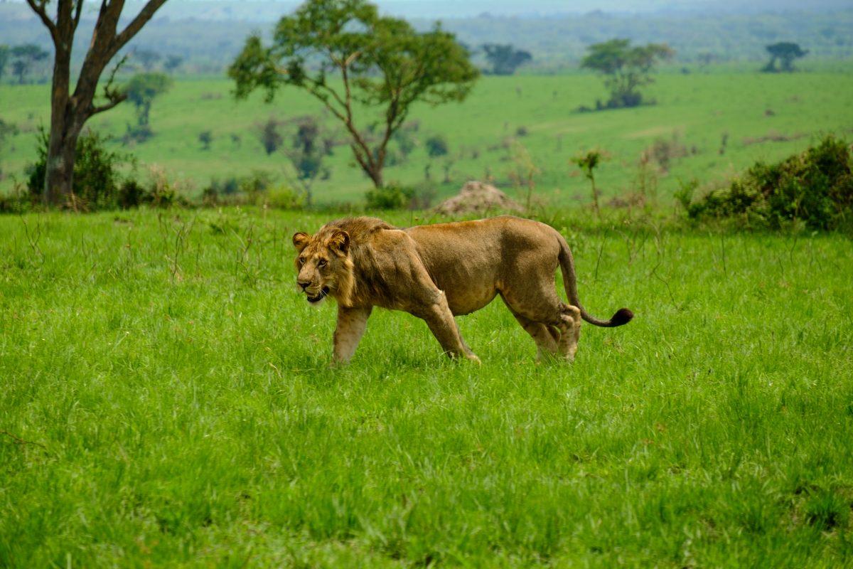 Lion Uganda