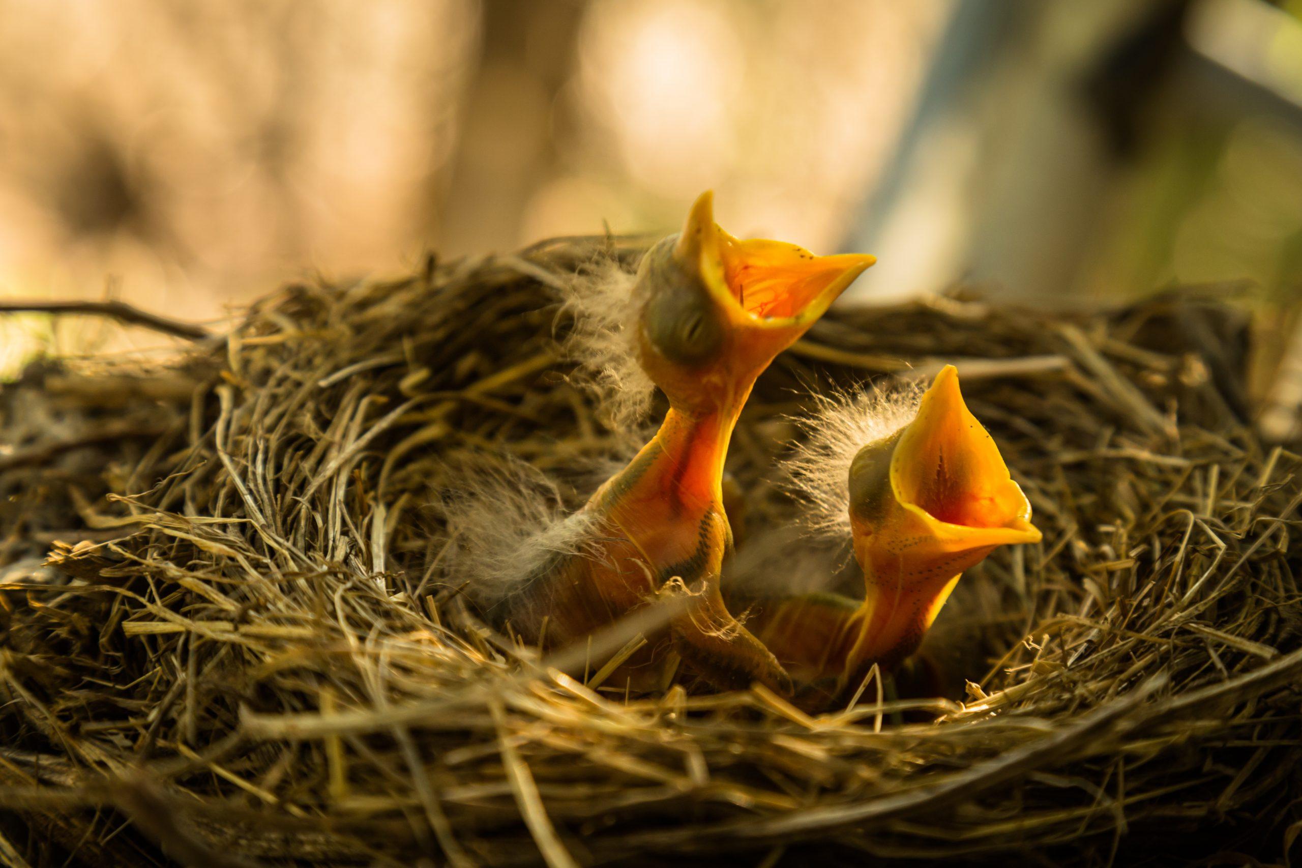 Nestling birds.