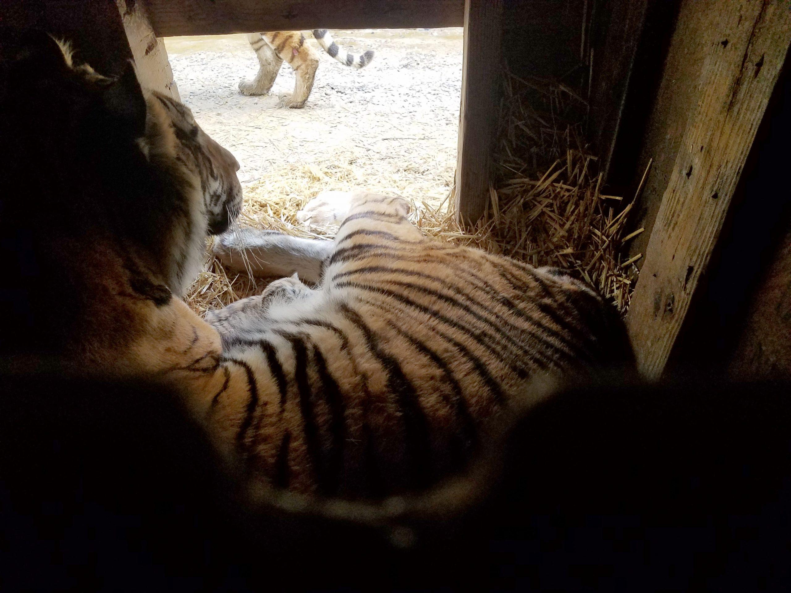 Courtesy of The Wildcat Sanctuary