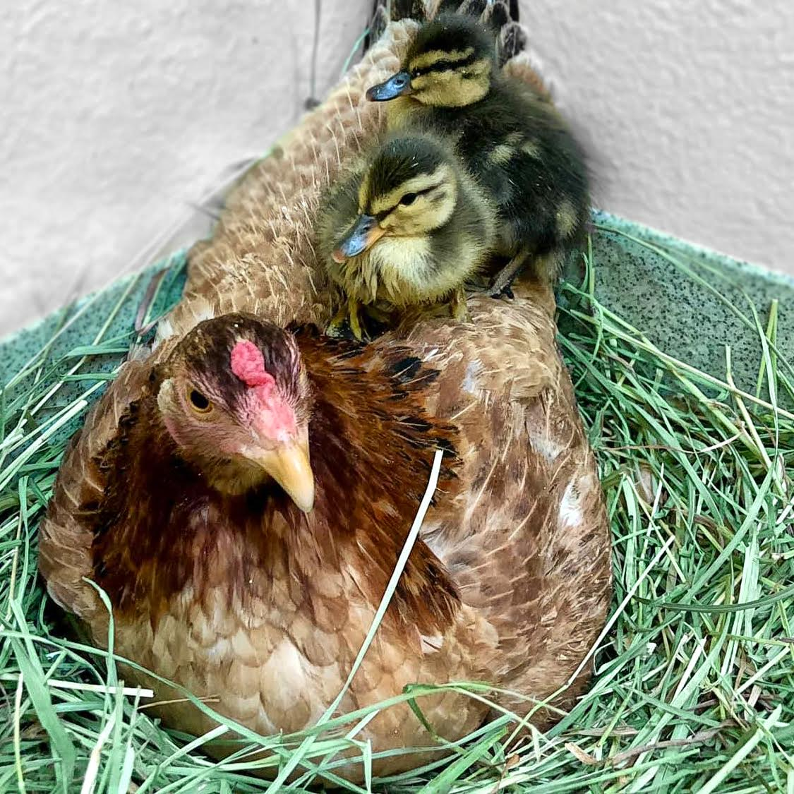 pasado chickens