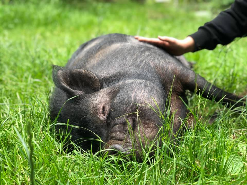 pig smiling in grass