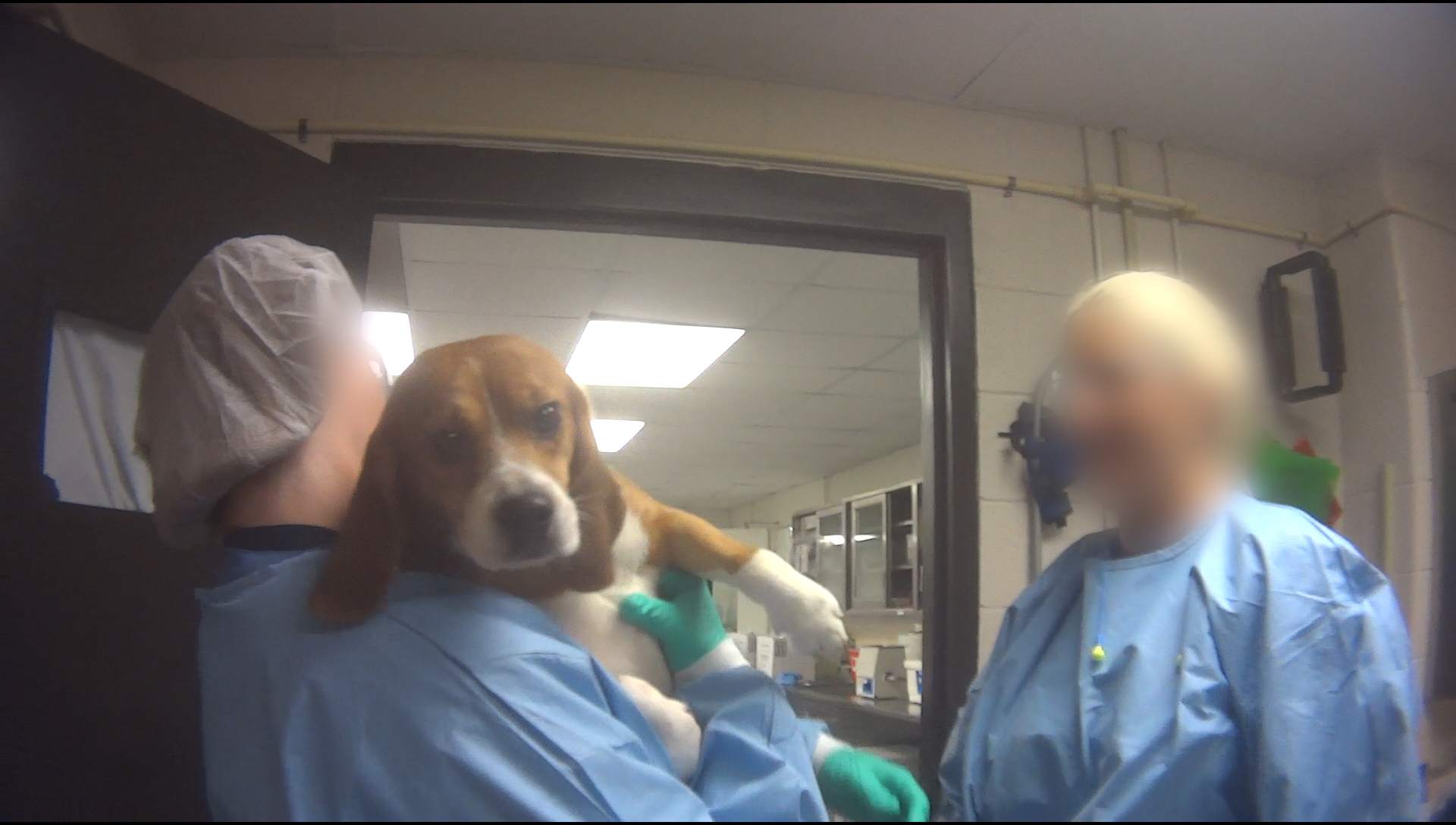"""Undercover investigation into Charles River Laboratories - Mattawan, MI. A beagle from the Paredox Therapeutics study - named Harvey by the staff - is handed over for euthanasia on August 27, 2018. When asked by the HSUS investigator why this particular dog received a name and not the others, a coworker replied """"You gotta earn it by being adorable."""" Paredox is a University of Vermont startup company."""