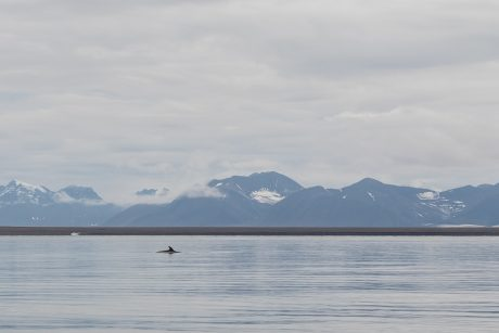 Norway Minke Whale
