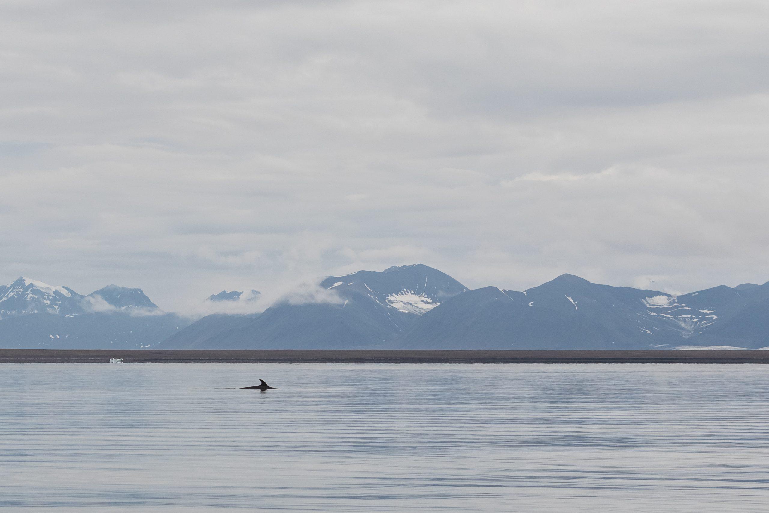 Norway Minke Whale
