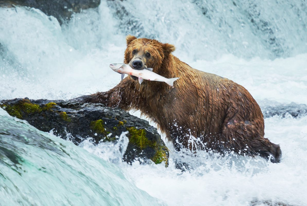 U.S. Fish and Wildlife Service Recommends Grizzly Bears Keep Protected Status