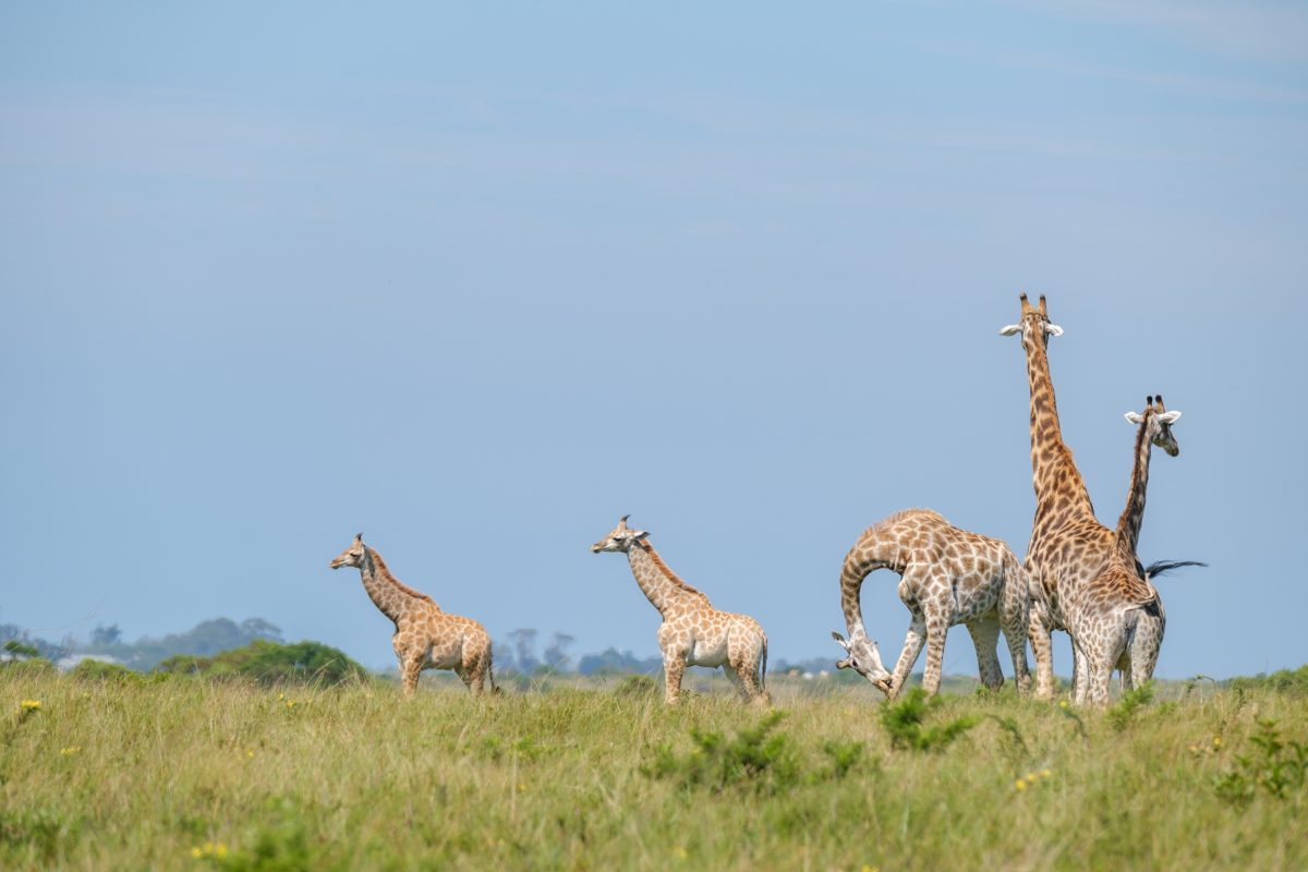 Giraffes Saved from Dangerous Floods
