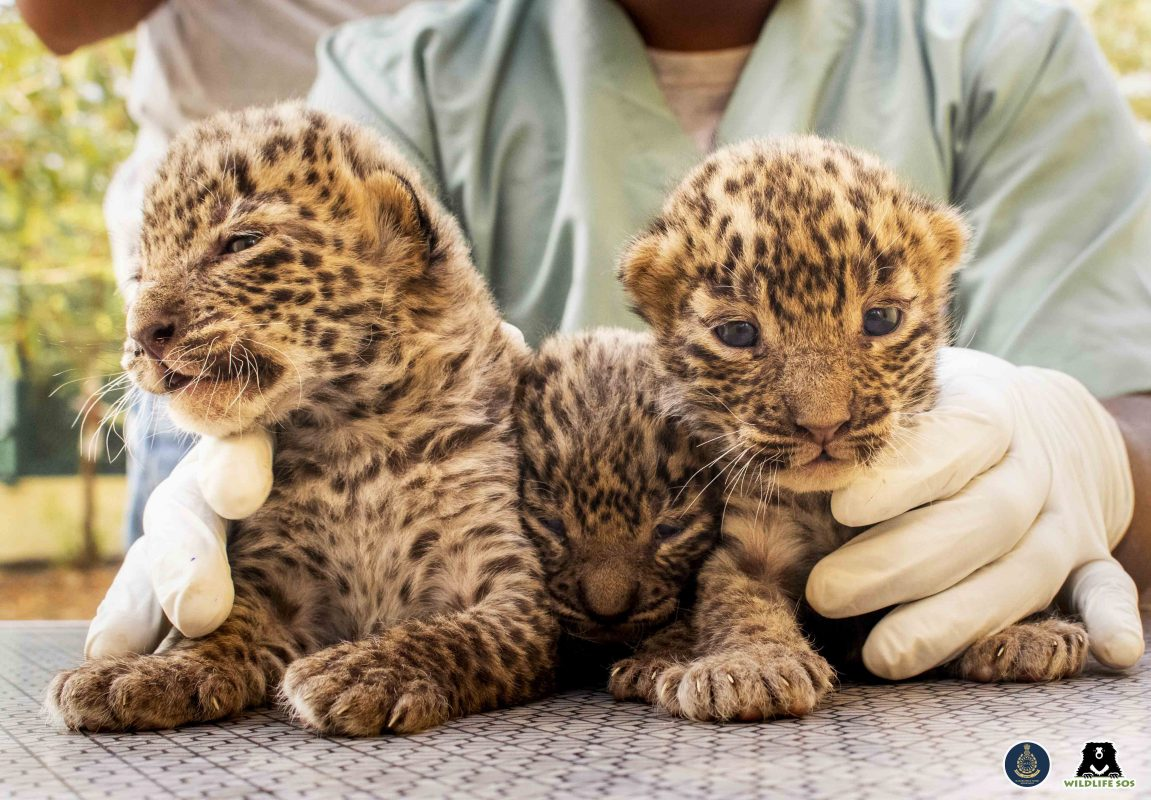 Leopard Cubs Reunited With Mom! [Video]