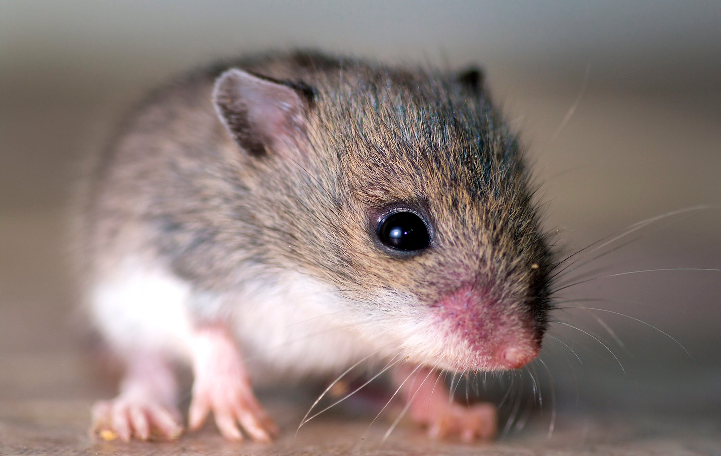 A young mouse