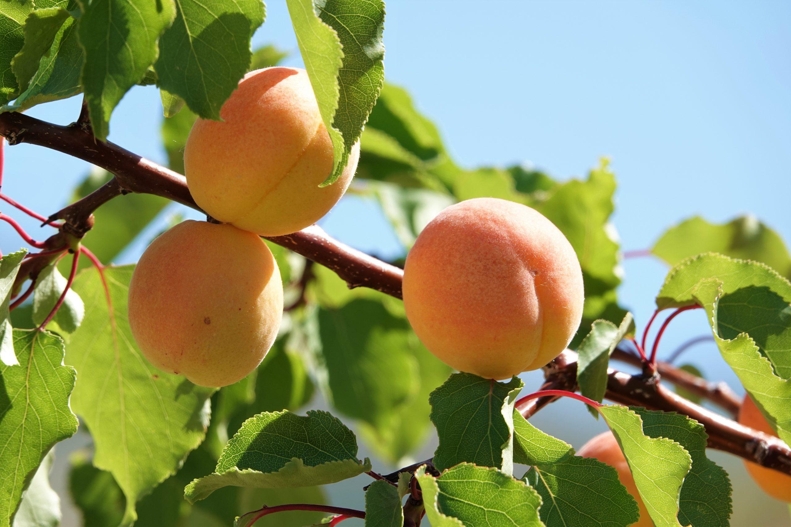 Blenheim, Apricots