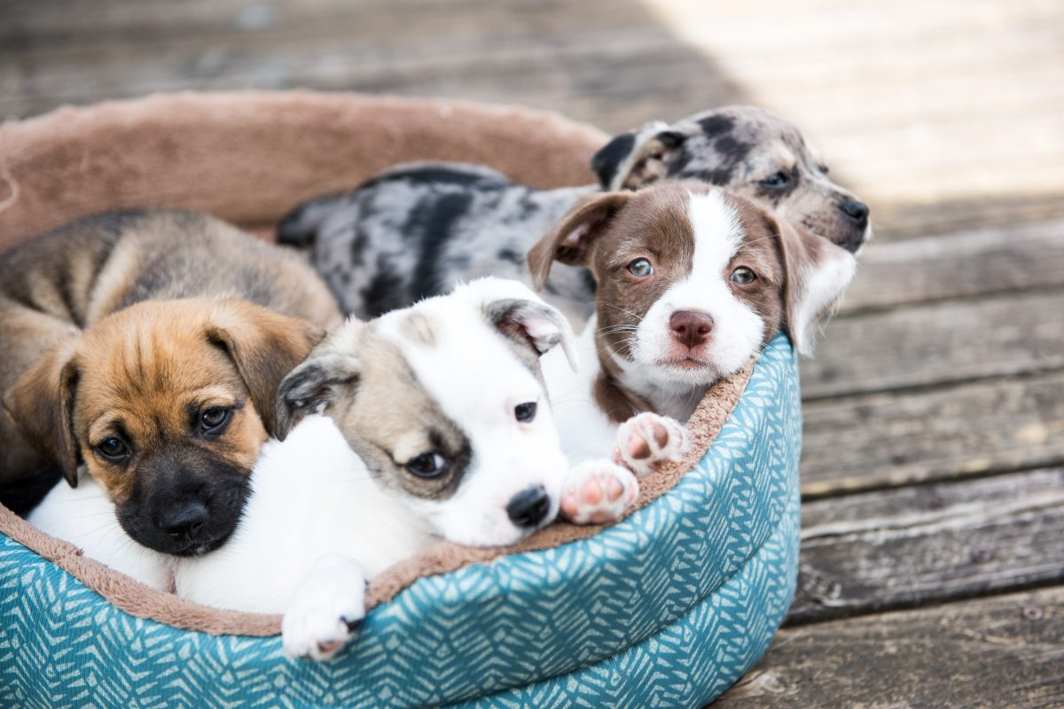 Thousands of Puppies Harmed Due to Outdated FDA Policy