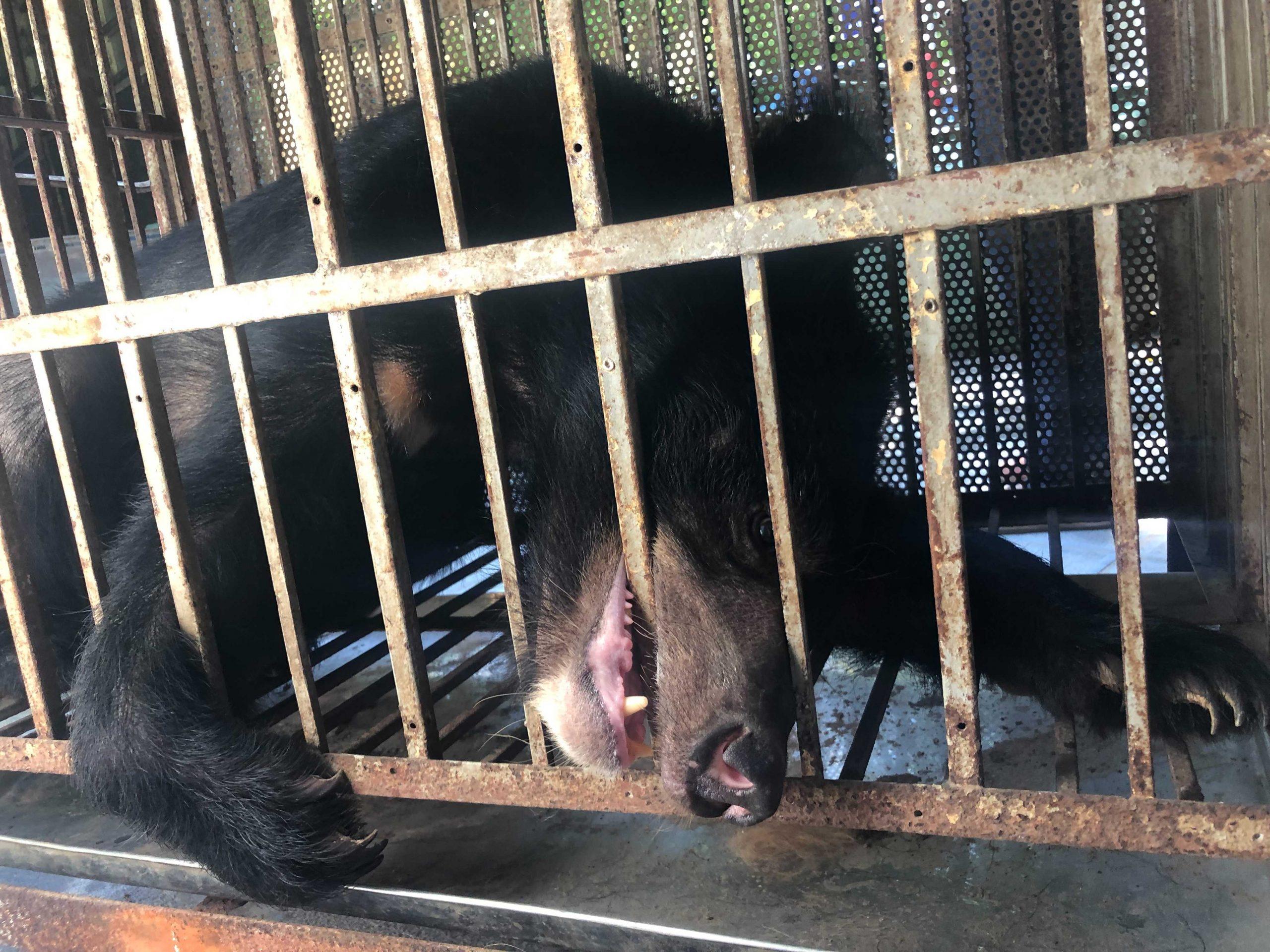 Bear biting bars hanoi circus