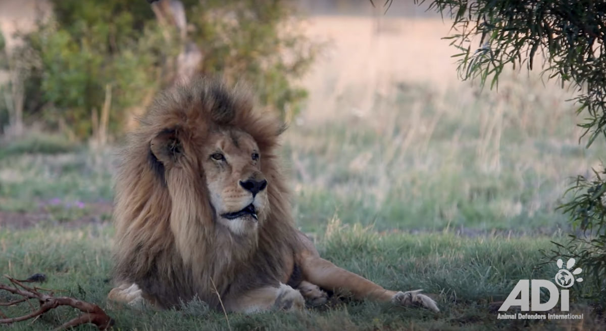 What a Year of Freedom Looks Like For Former Circus Big Cats [Video]