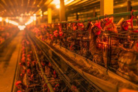 battery hens