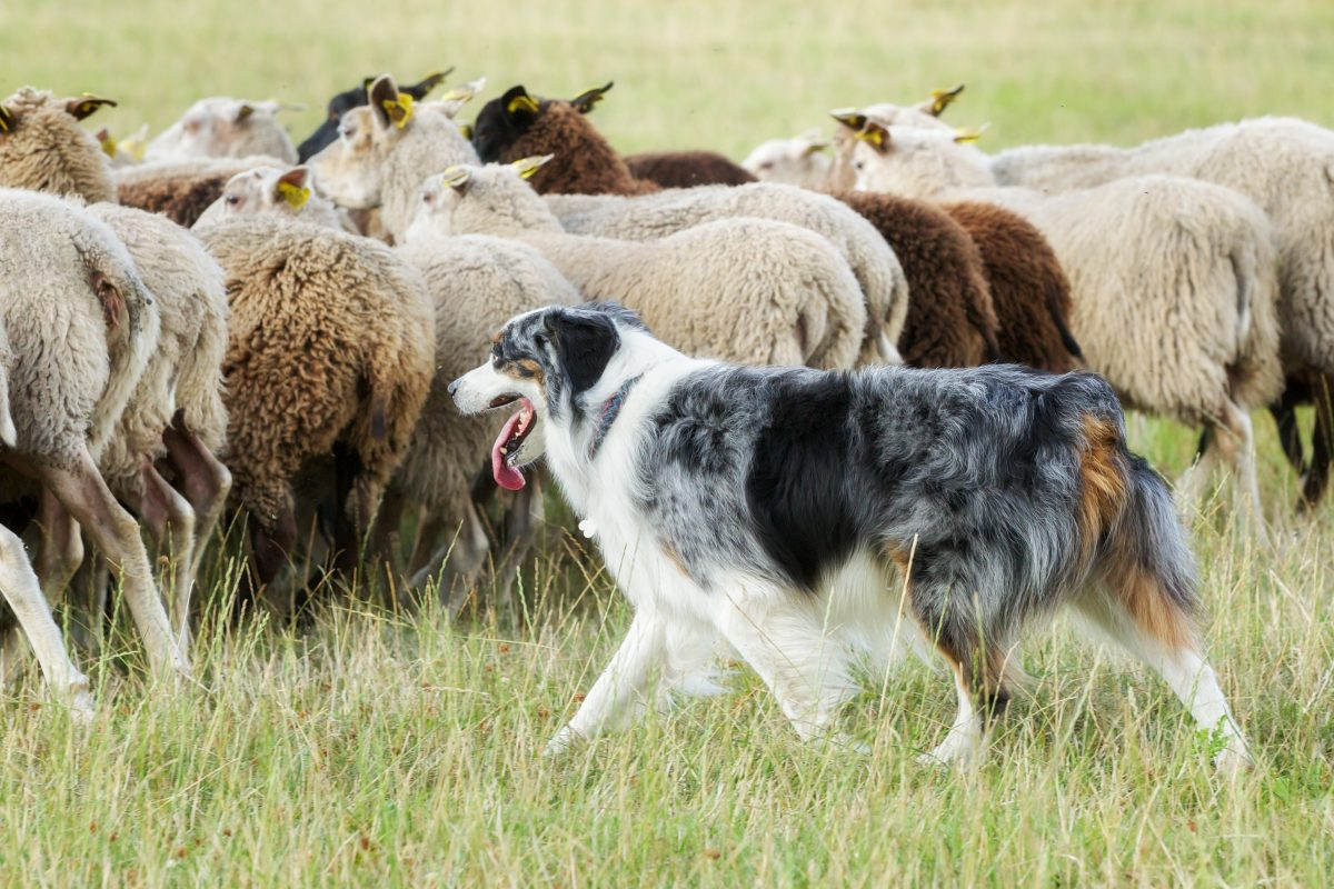 Missing Dog From Car Accident Found Herding Sheep