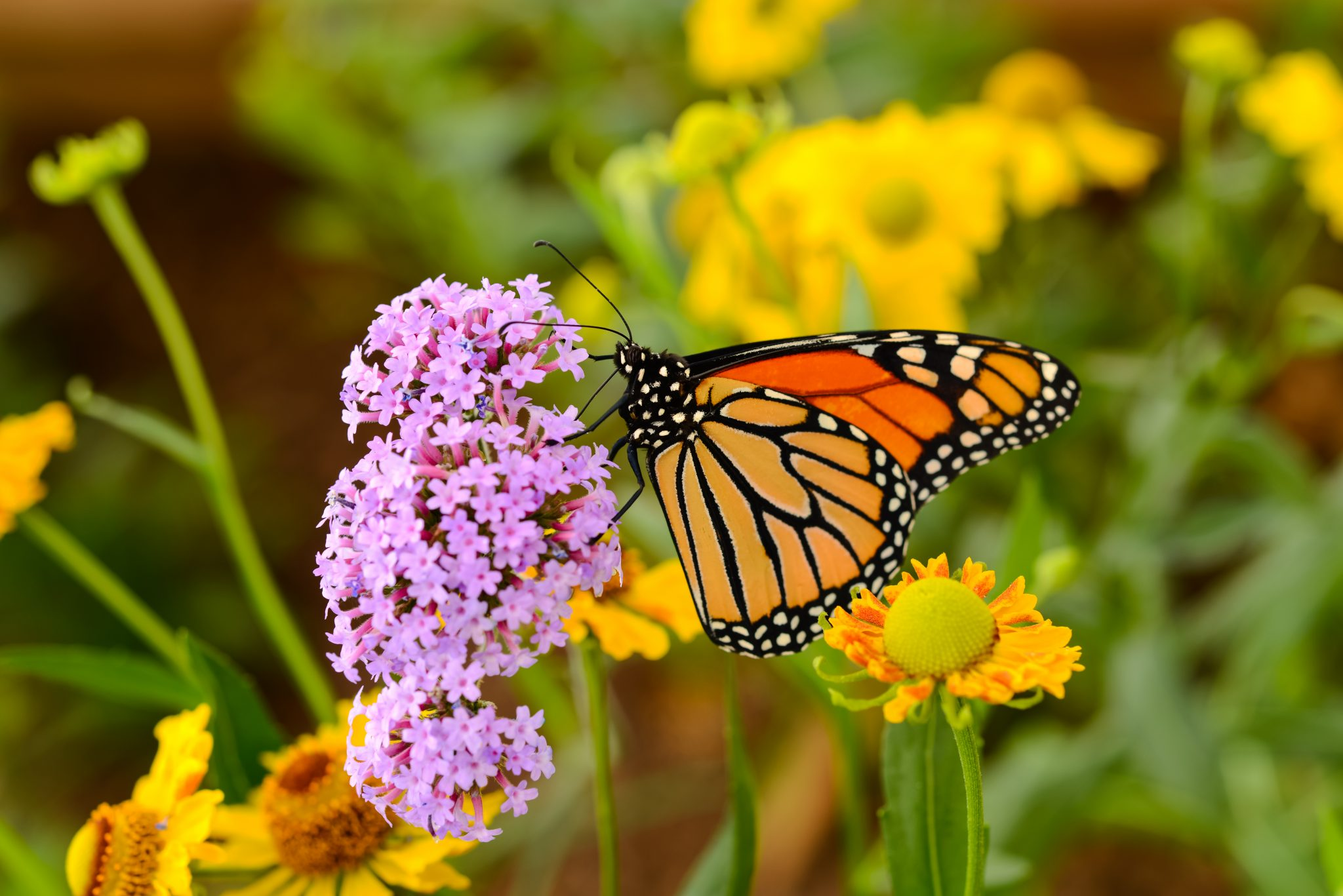 Petition: List Monarch Butterflies as Threatened Under the Endangered Species Act