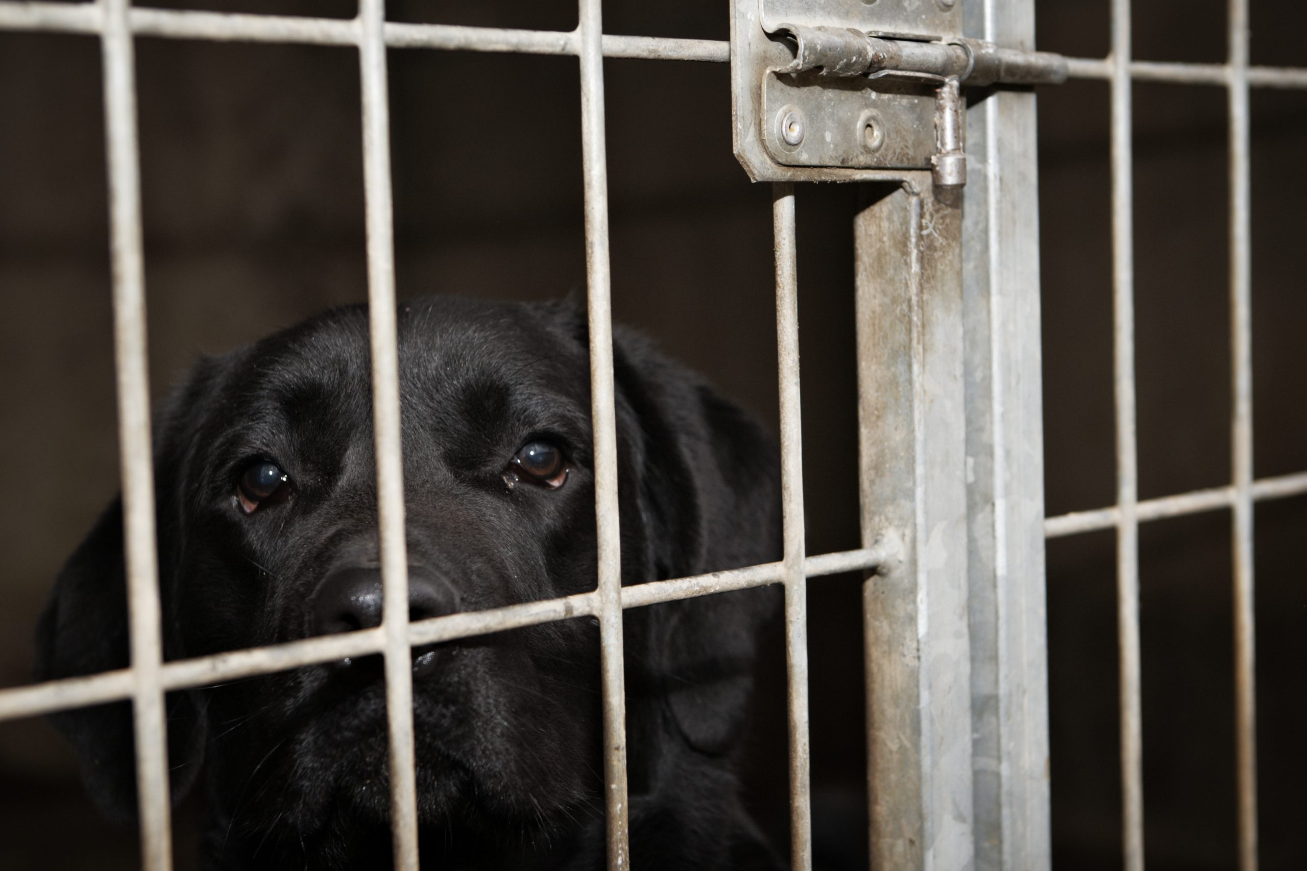 black lab in cage