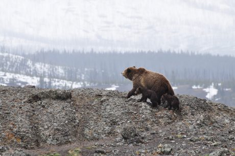 Bear and 2 cubs