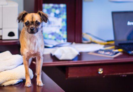 Dog on Desk