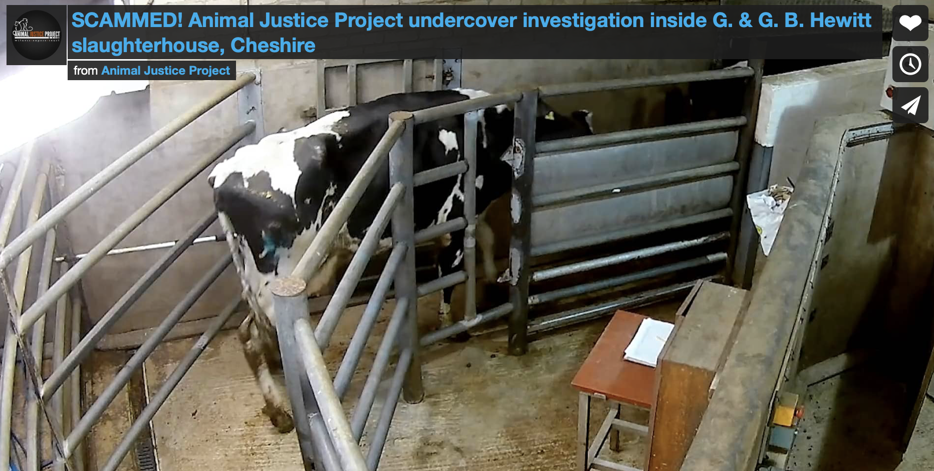 SCAMMED! Animal Justice Project investigation inside G. & G. B. Hewitt slaughterhouse, Cheshire