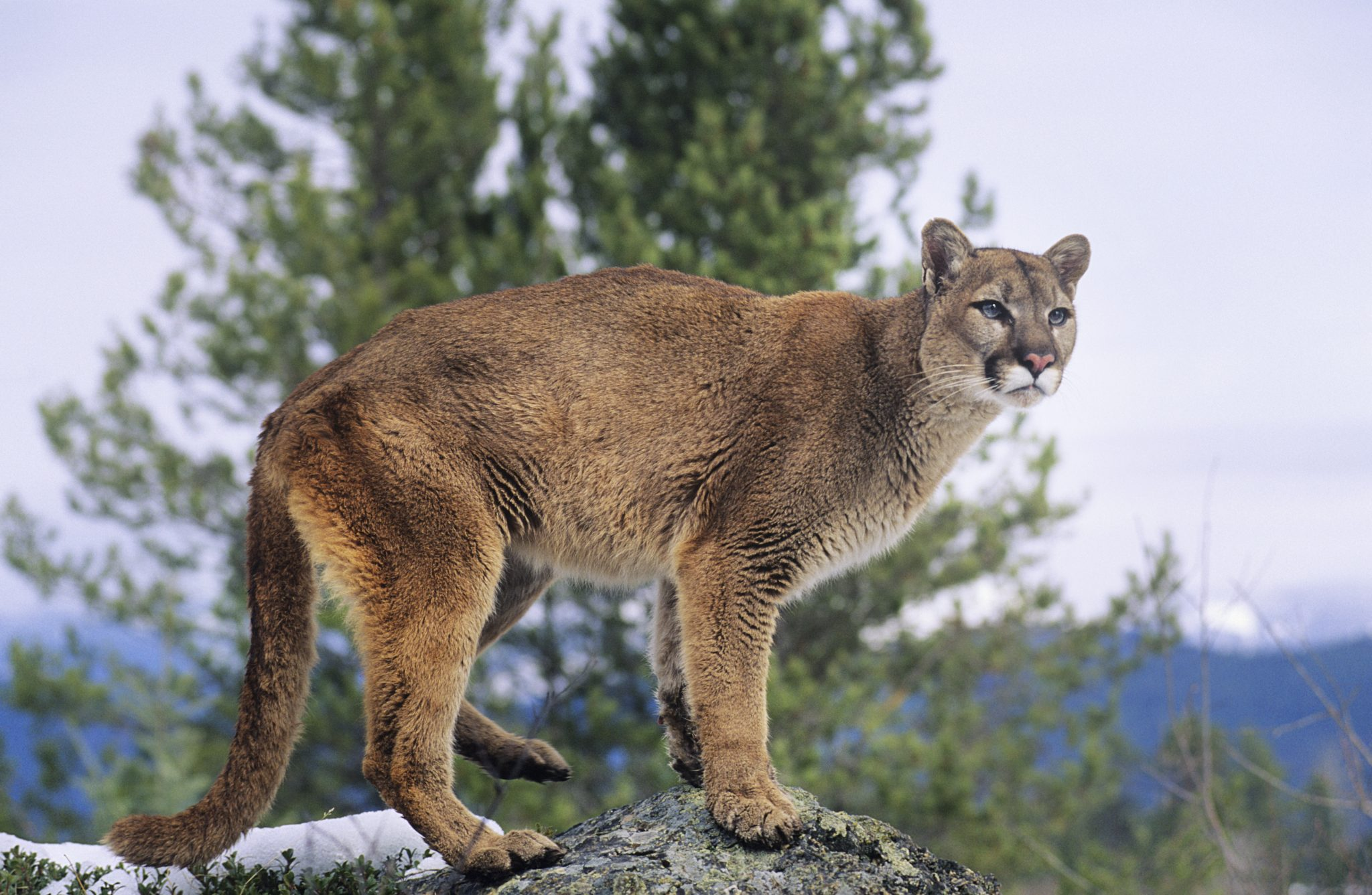 The Decades-Long Fight to Save America's Mountain Lion and What You Can Do to Help