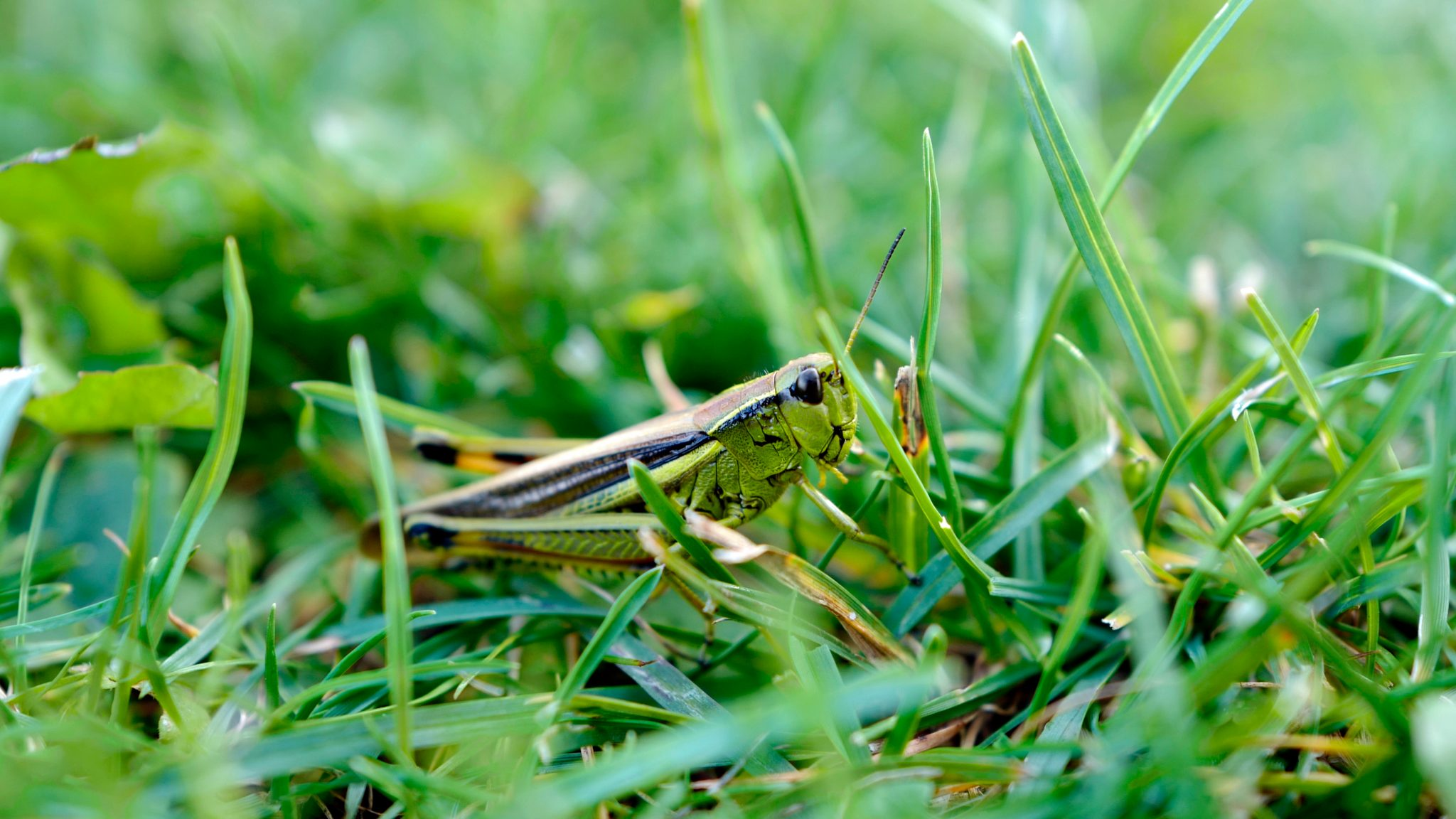 """""""Plagues"""" of Grasshoppers Hit Western US"""