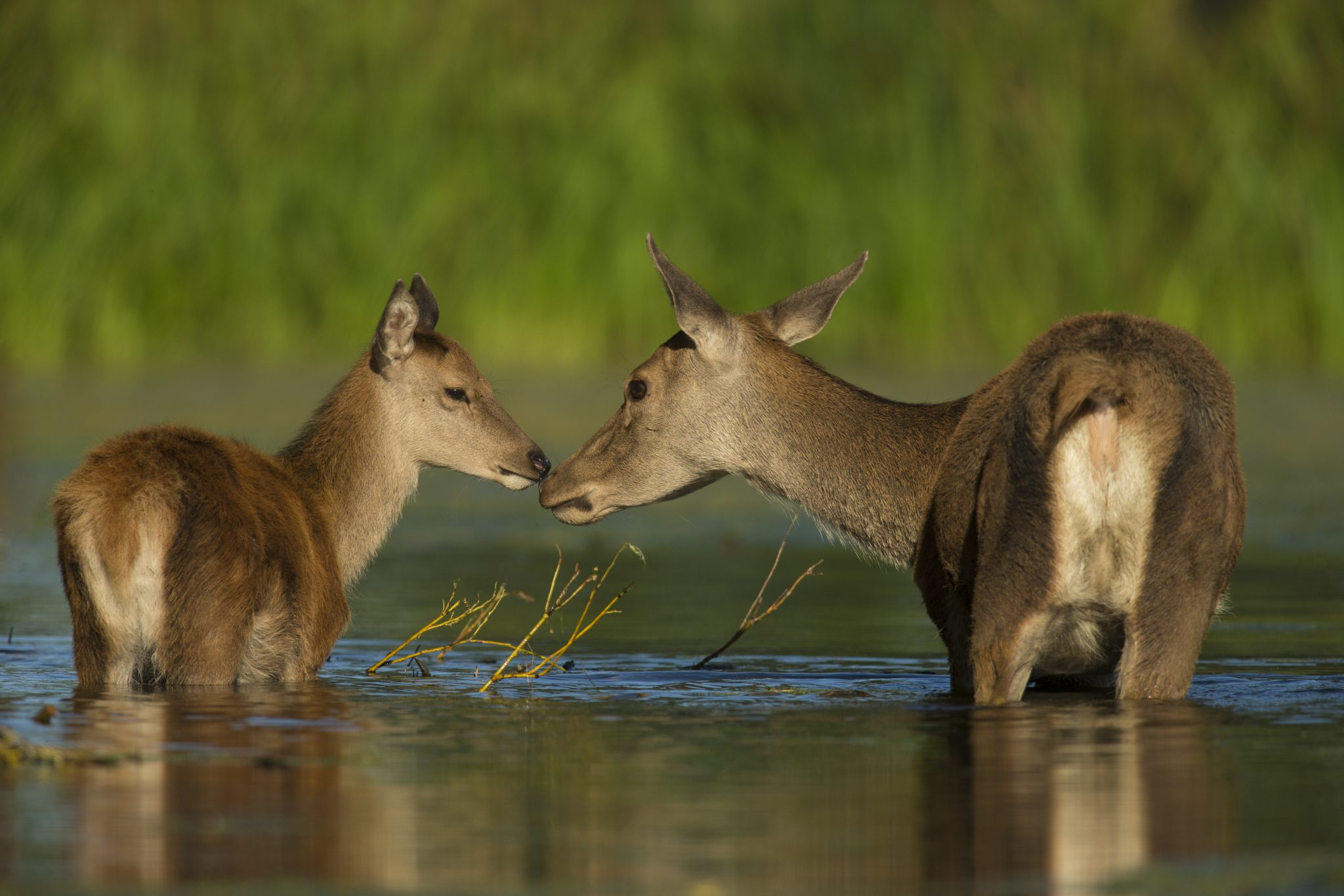 Should deer's impact on crops, woodlands, and marshes be reduced by culling?