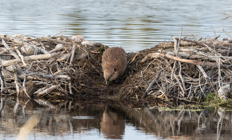 Beavers to Be Reintroduced in London for Urban Rewilding