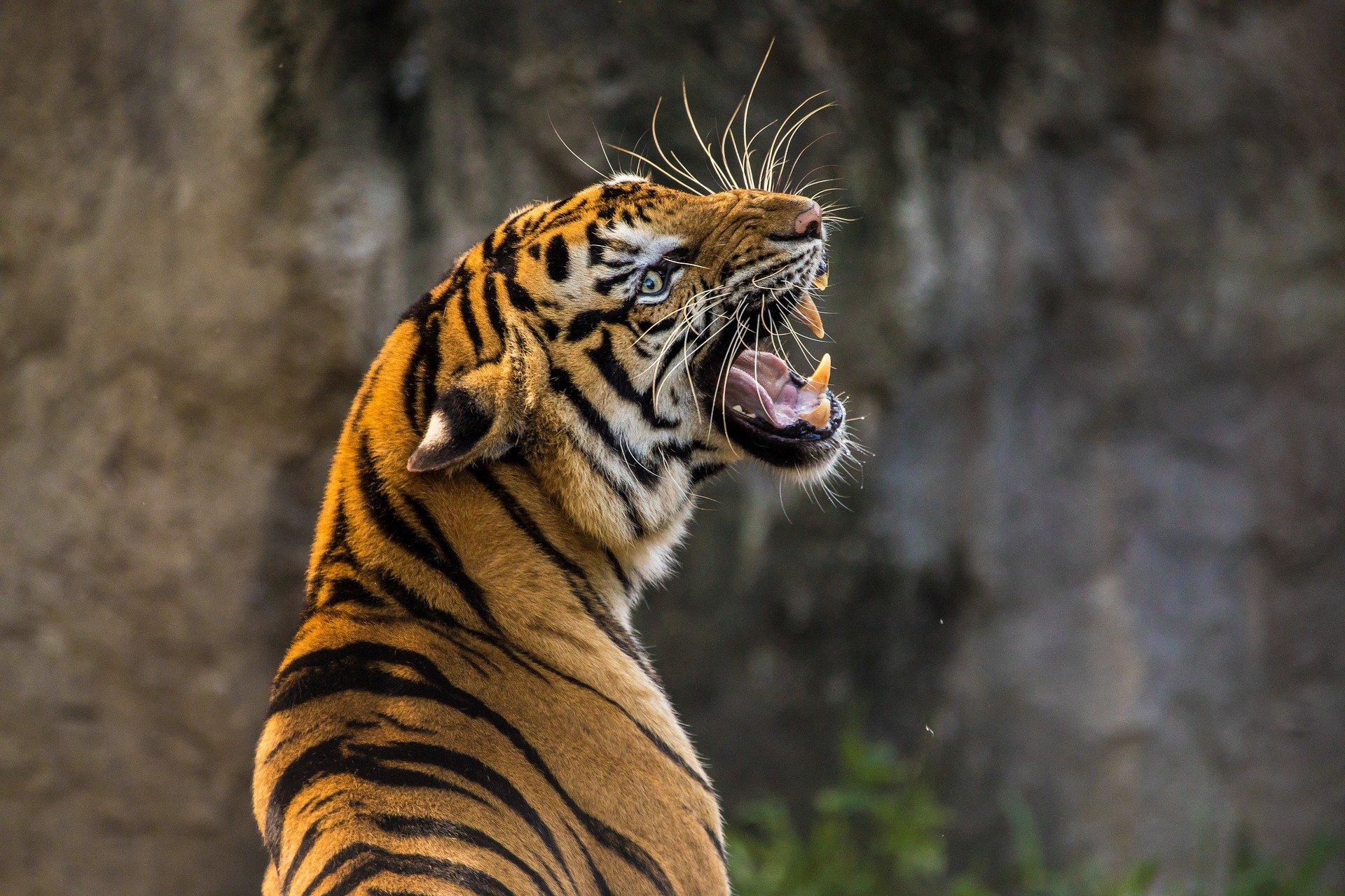 Should experimental coronavirus vaccine be tested on zoo animals?