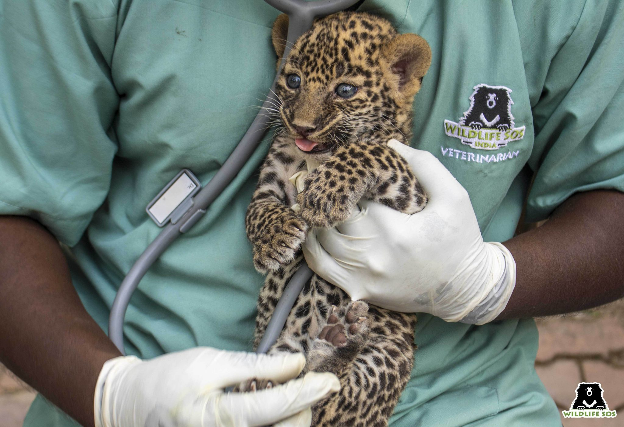 A leopard cub being examined by a Wildlife SOS vet. Image Courtesy of Wildlife SOS