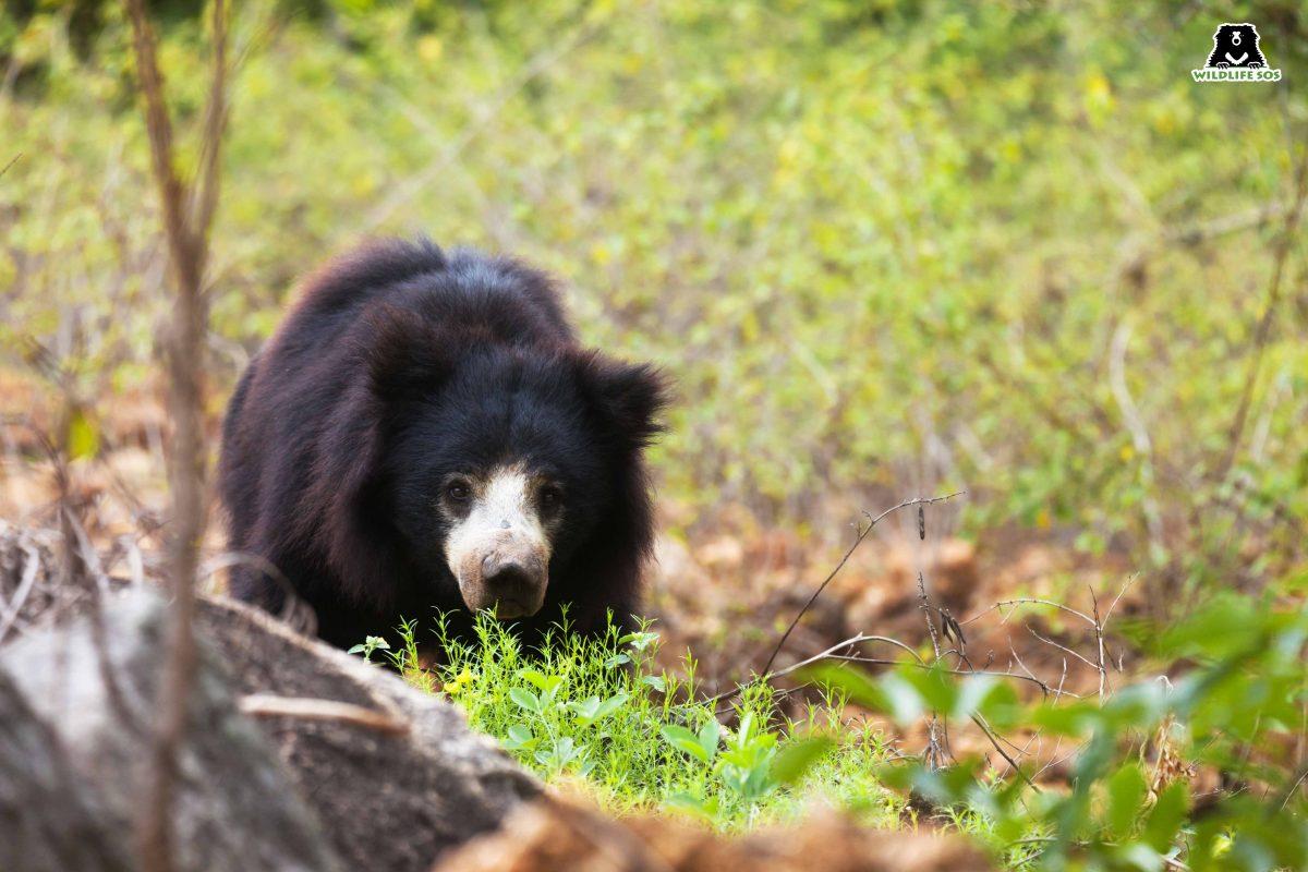 Scent Communication: The Secret Language of Sloth Bears
