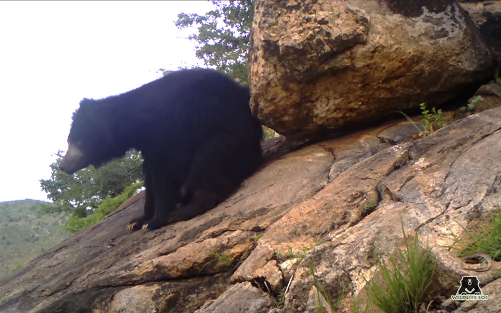 A male wild bear rubbing his back against a rock to leave a scent trail