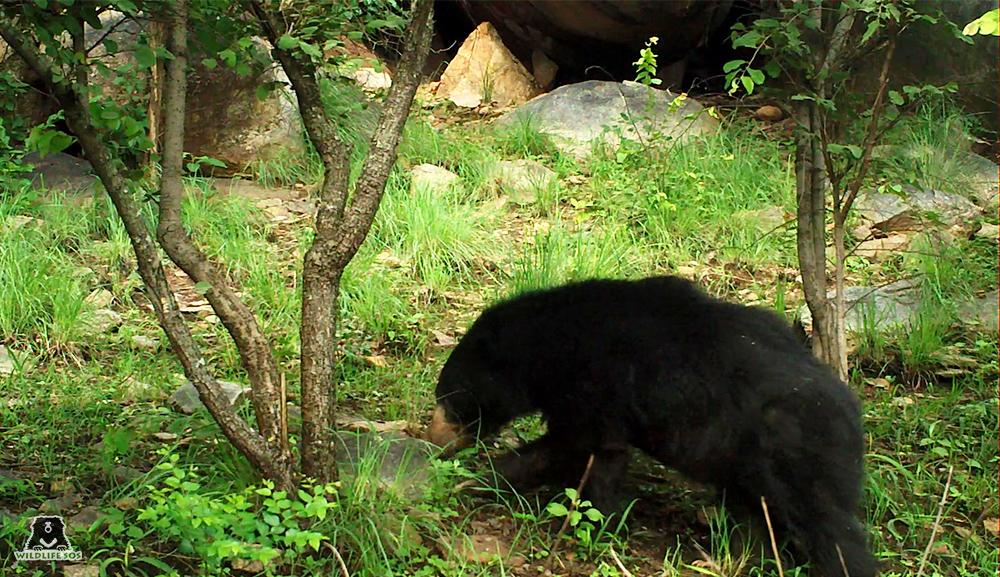 A sloth bear sniffing near a den