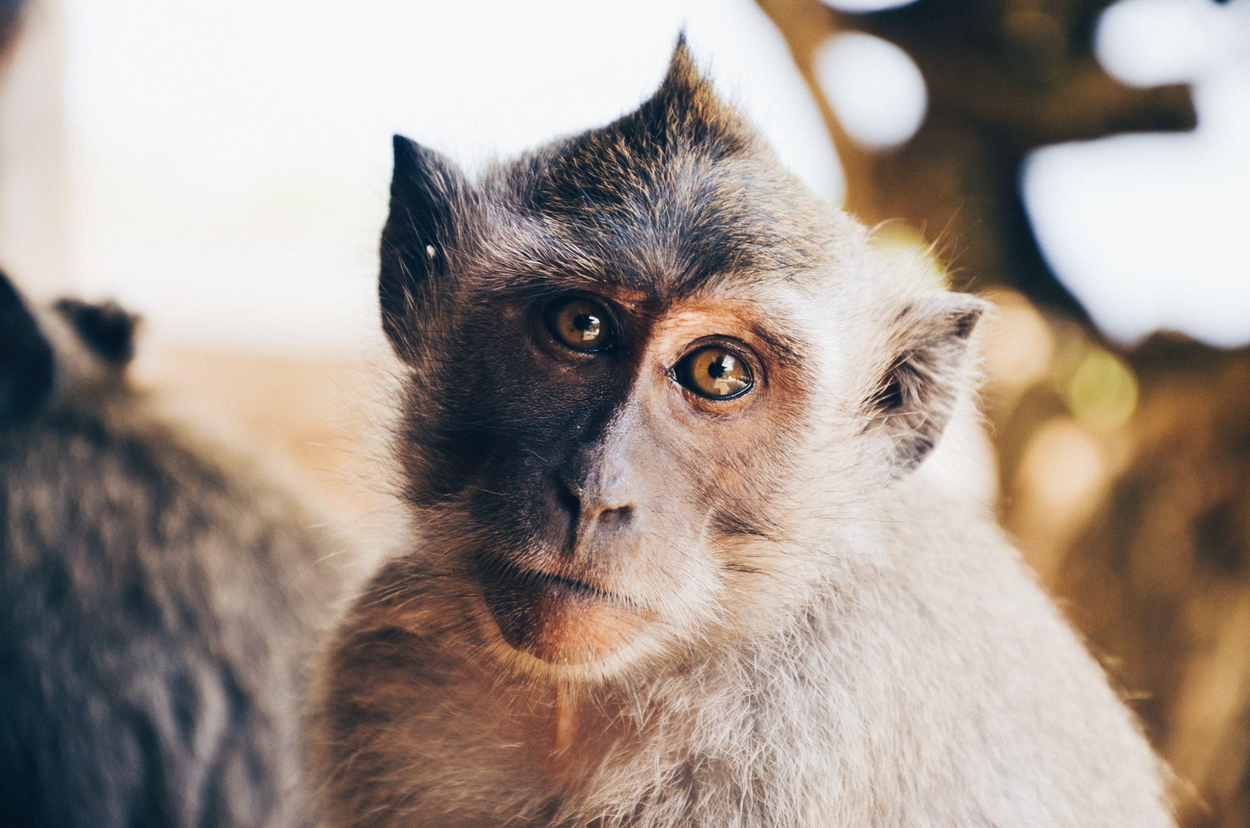 experimenting on monkeys