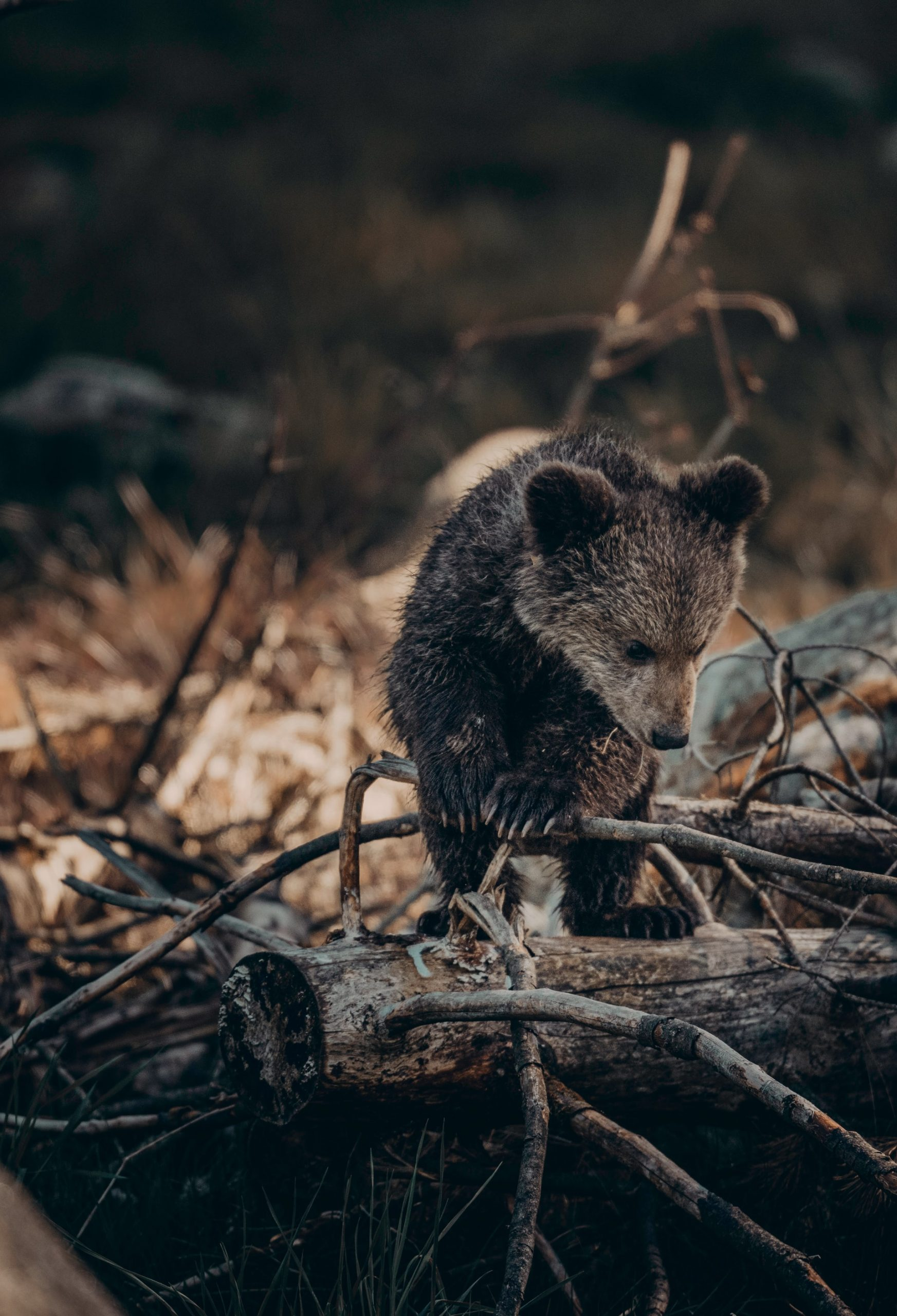 emaciated bear