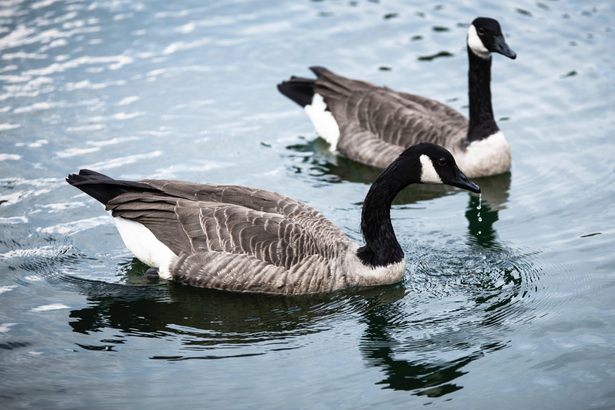 injured goose