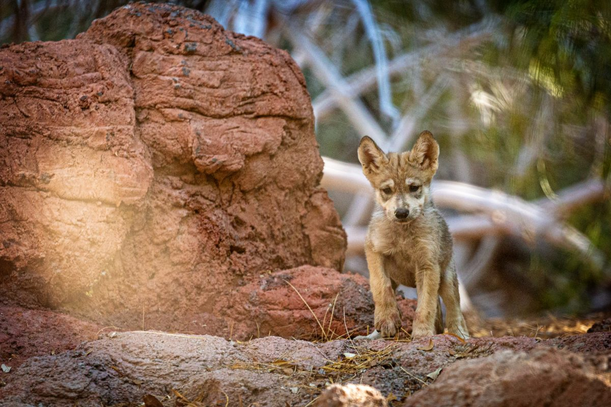 mexican wolf pup